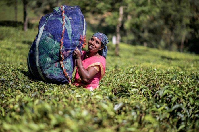 tea picking woman at munnar ii