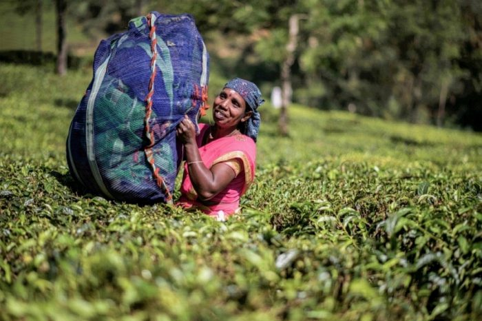 tea-picking-woman-at-munnar-ii-700x466